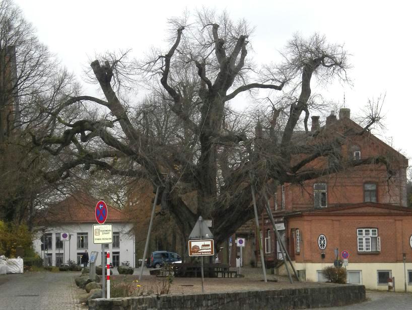 Bordesholm_Gerichtslinde_(Court_Tree)_2010