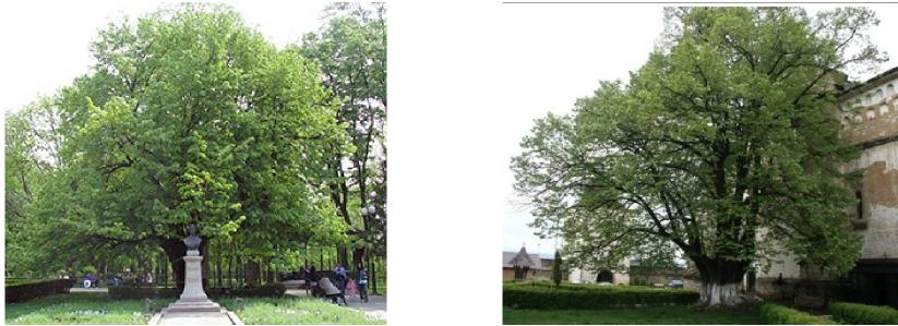 foto 1 Eminescu linden tree Foto 2 The linden tree of Barnova
